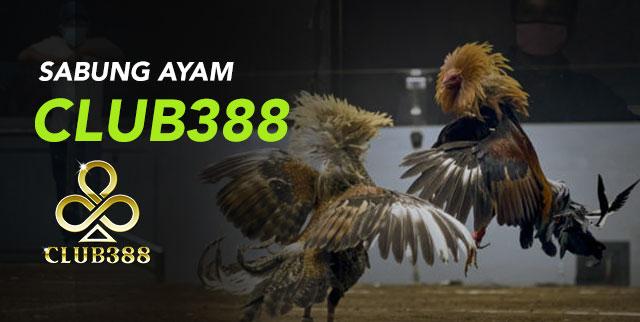 SABUNG AYAM CLUB388